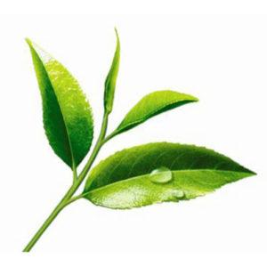 listya-zelenyj-chay