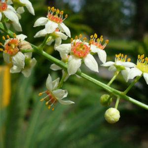 Boswellia-sacra-cvety