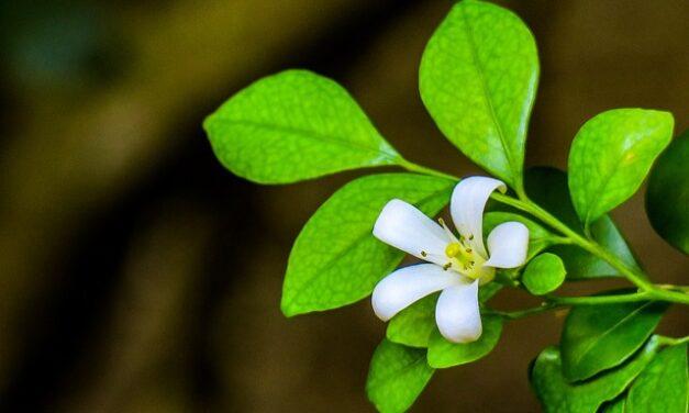 Масло Ладана и его польза для здоровья